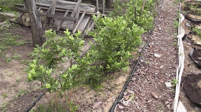 Голубику нужно умеренно и часто поливать. Подкармливать кусты необходимо только на второй год после посадки.