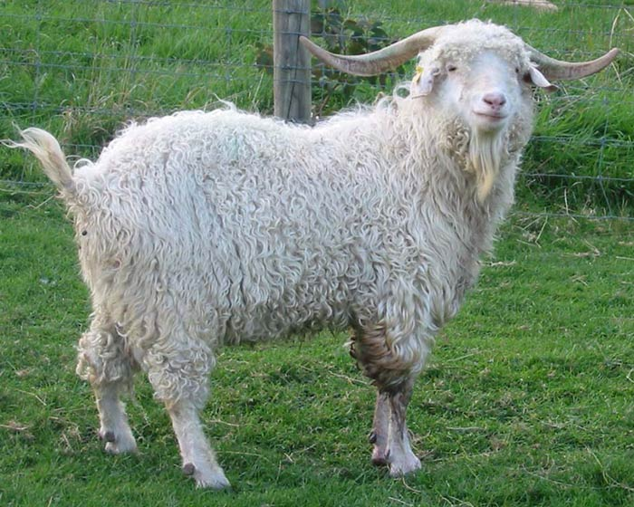 Мохер е вид фина вълна, произведен от руното на специален вид коза ангора.