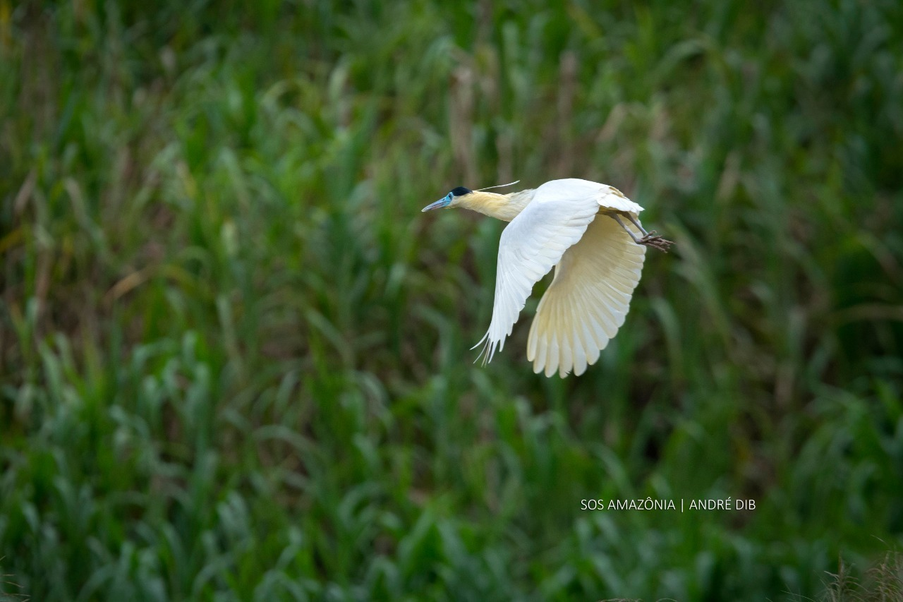 Garça-real (Pilherodius pileatus) - Parque Estadual Chandless    Local: Santa Rosa do Purus-AC | Autor: Andre Dib