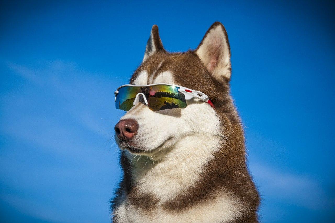 фото крутых собак хаски как чинили, так