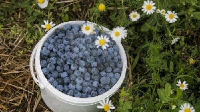 Хранить голубику Блюгольд можно как в морозилке, так и перерабатывать. Чтобы ягоды хорошо сохранили свой внешний вид, необходимо перед наполнением емкости застелить ее мягкой салфеткой.