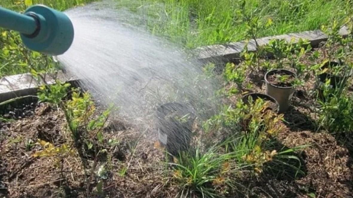 Орошать кусты рекомендовано подкисленной водой: 20 мл уксуса на 10 л воды