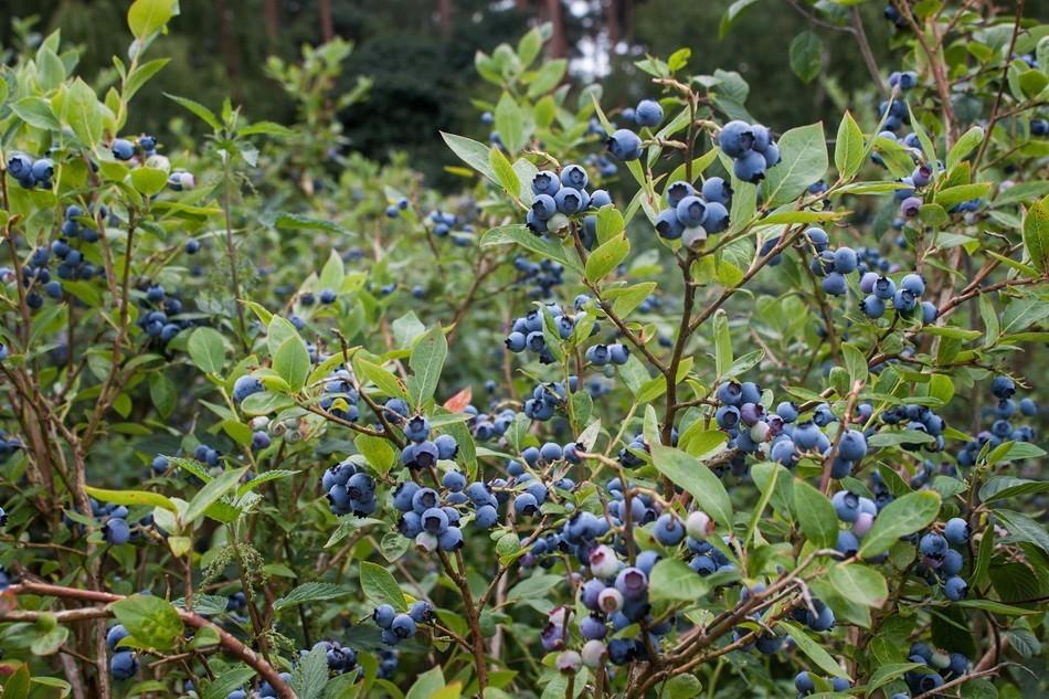 Растение отличается супер морозостойкостью и идеально адаптировано для выращивания в северных регионах
