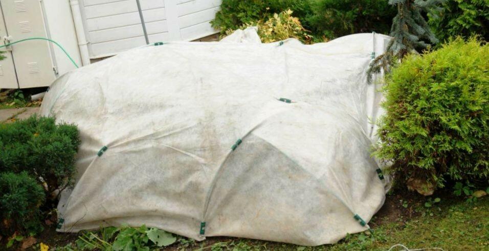 Шалаши из белой агроткани для защиты голубики от зимних холодов