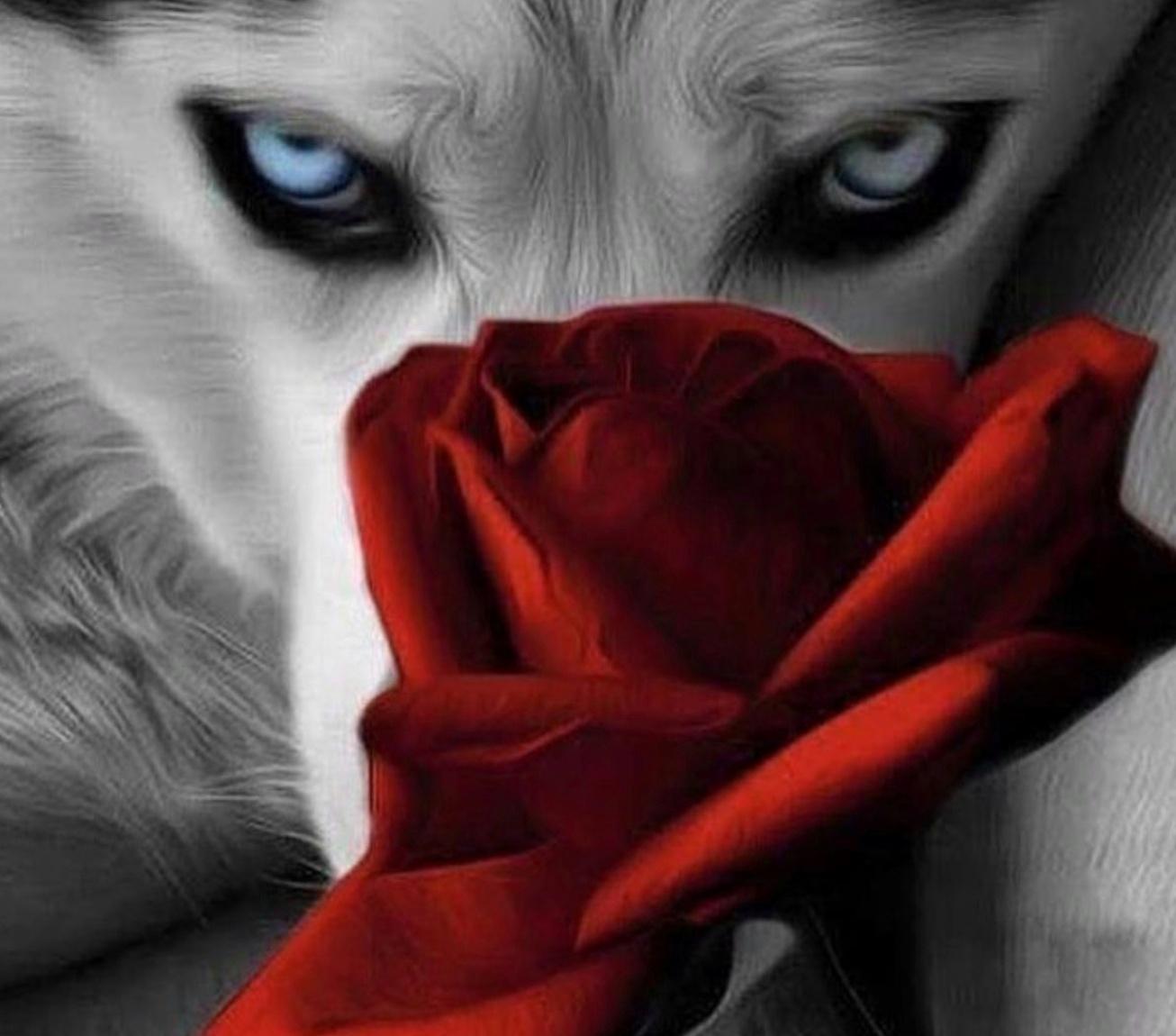 фото волк с розой в зубах добровольцев