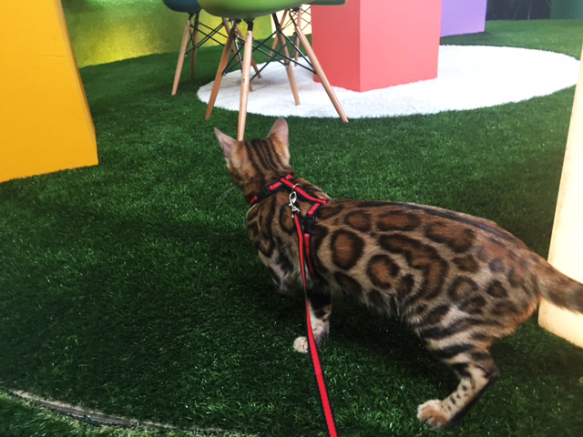 GoldyCat Bengal Cattery