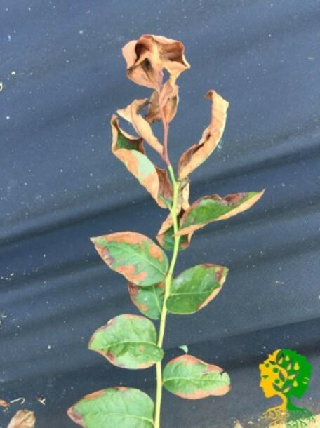 Правильный и своевременный полив голубики помогает избежать сухости листьев и гибели растения
