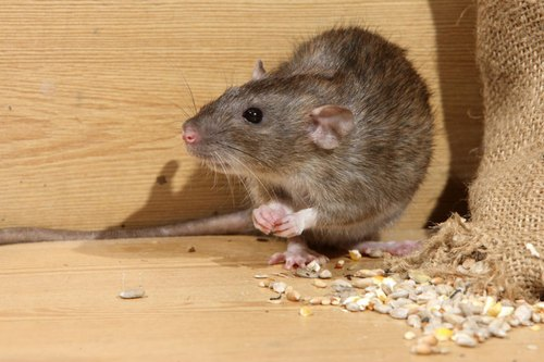 How to get rid of rats (rodents) in a restaurant
