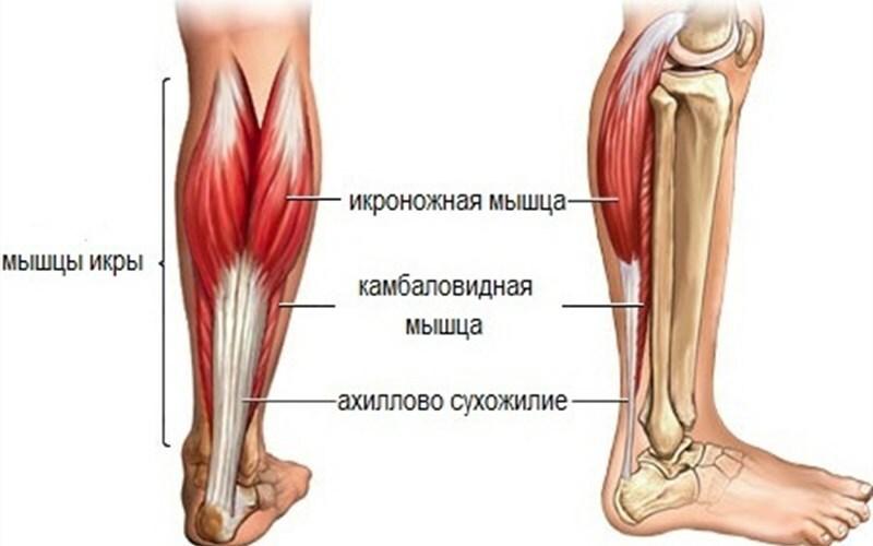 Виды мышц икры