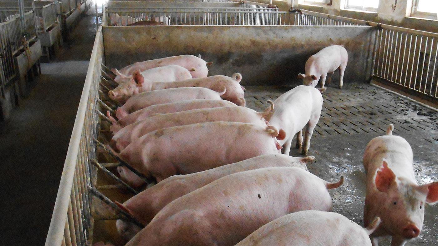 Классификация туш свиней, шпикомер, купить шпикомер узш-1