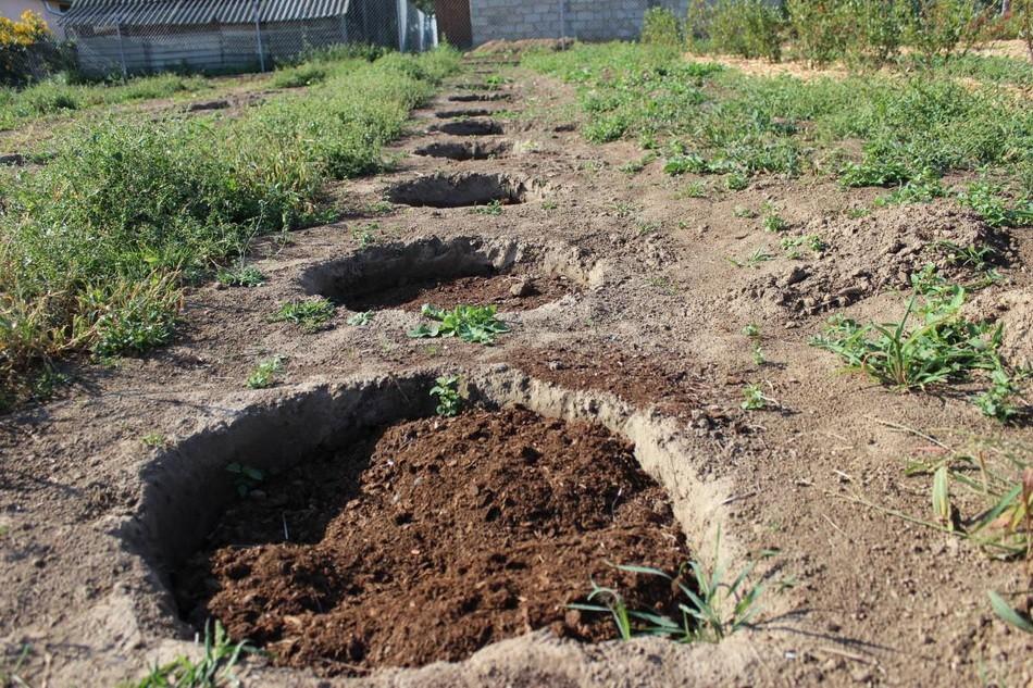 Такая схема посадки необходима для того, чтобы каждому кусту хватало солнечного света и подходит для садовых условий