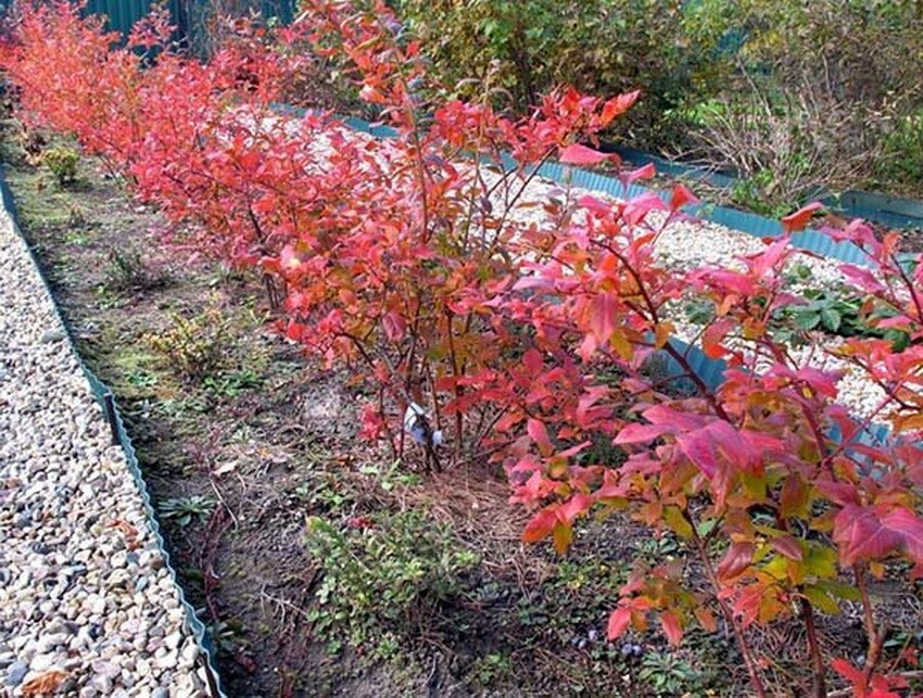 Осенью кусты морозостойкой голубики покрываются красной листвой