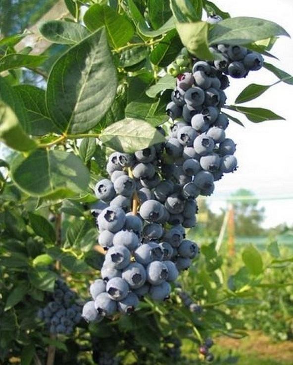 Содержание сахара в плодах составляет порядка 14.2%
