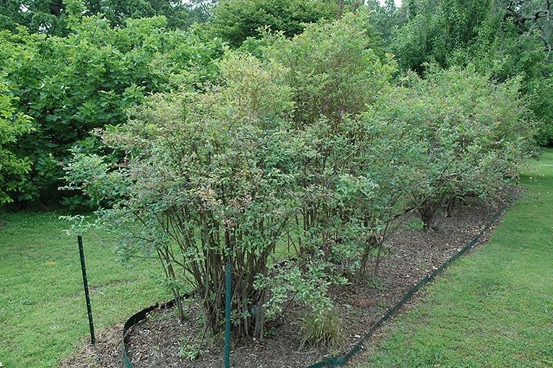 Пышный куст голубики с раскидистыми ветвями это особенности сорта Либерти