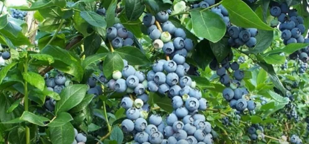 Голубика - вкусная и полезная ягода. Выращивать ее можно, как в северных регионах, так и на Кубани.