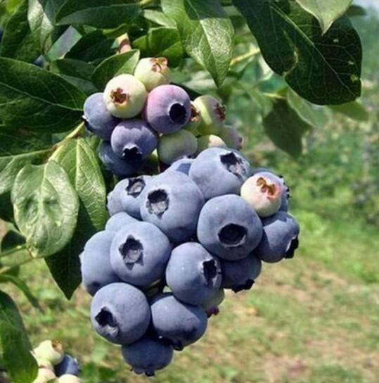 При правильном уходе с одного куста за 1 вегетационный период (календарный год) можно собрать до 5 кг ягод