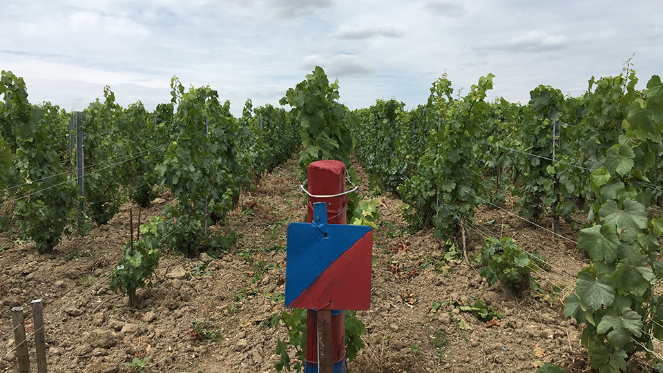 Roederer has taken a leadership role in biodynamics and now farms more biodynamic vineyards than any other house in Champagne. This parcel in Pierre Vaudon in Avize is split between conventional and biodynamic farming and is used to evaluate the benefits and limits of both approaches