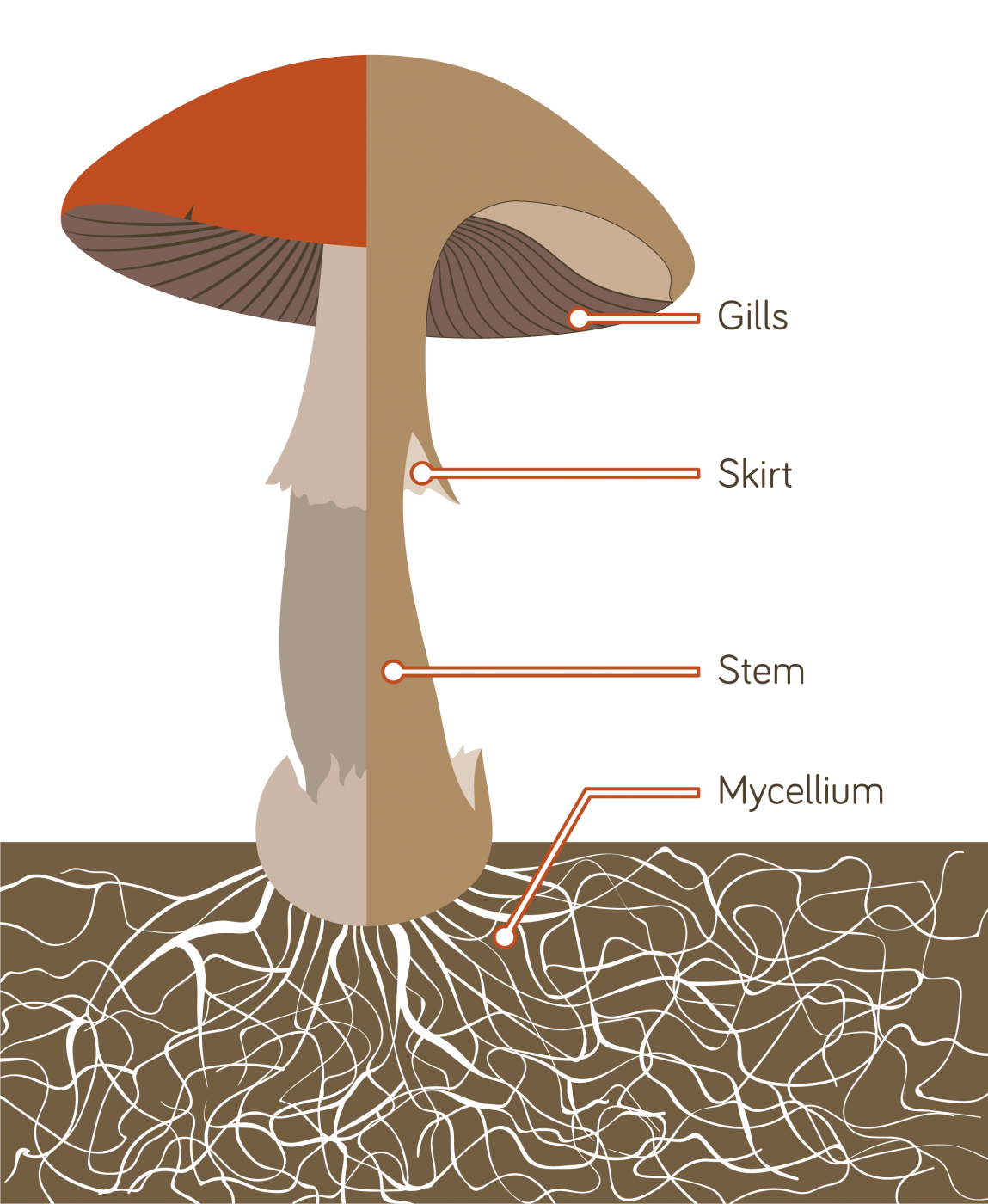 Anatomy of a mushroom College paper Academic Writing Service
