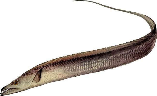 черная рыба сабля