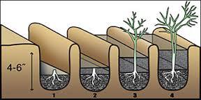 Как посадить спаржу