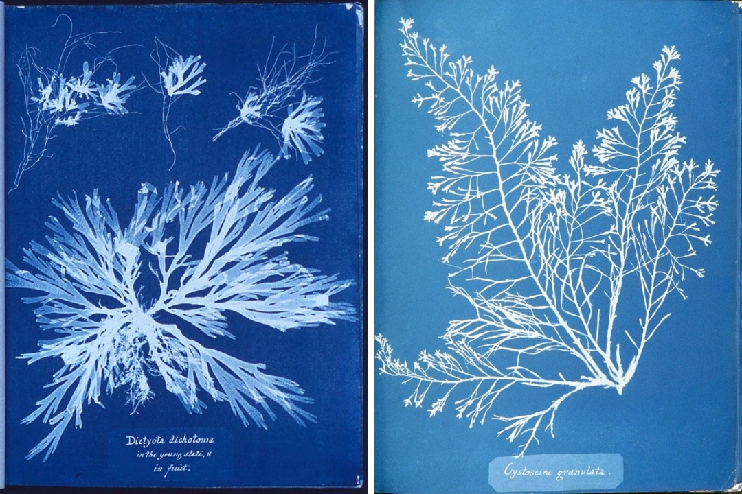 Цианотипия, водоросли