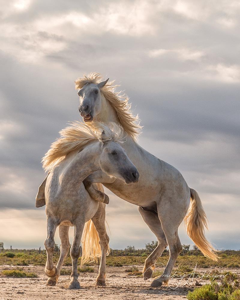 Camargue sea horses, Provence