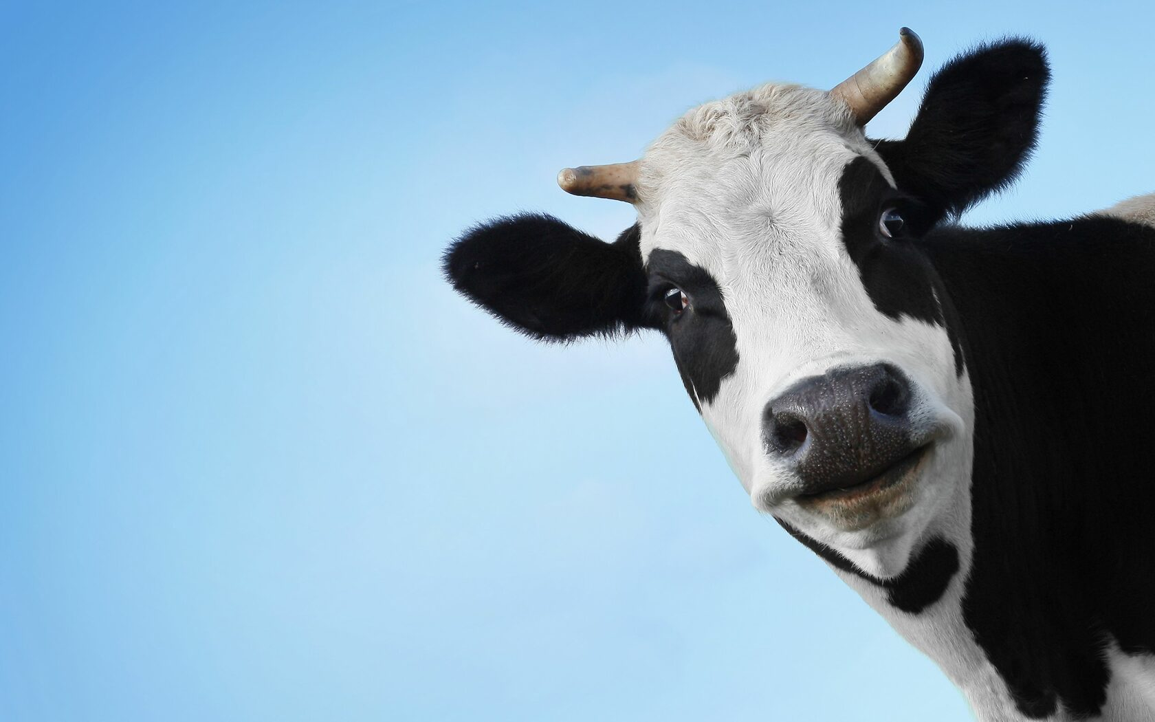 Суд в Швеции обязал фермеров завести подругу для коровы