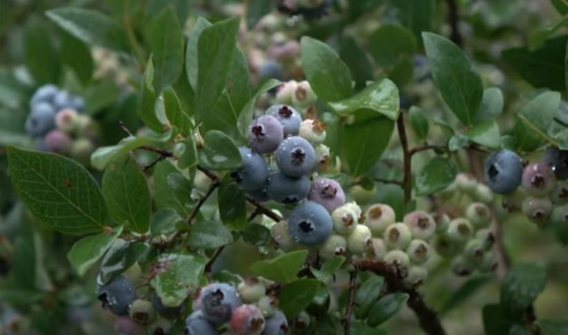 Хотя ягоды сорта Элиот не самые крупные, зато они очень вкусные и ароматные, охлажденными могут храниться до 1,5 месяцев
