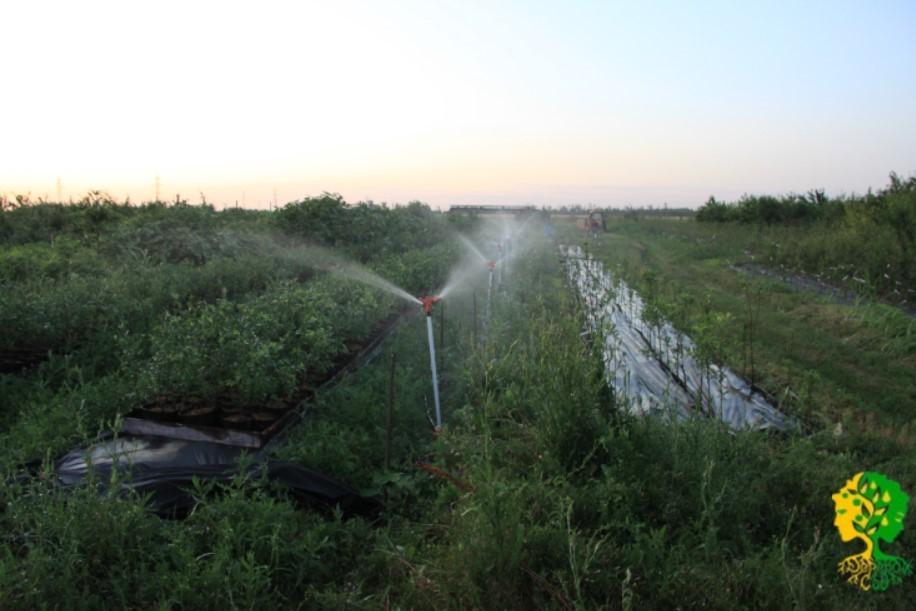 Для привычного климата требуется регулярный полив голубики что дает увлажнение воздуха