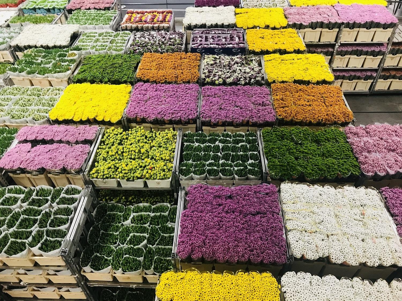 На фото – растения, подготовленные для голландского аукциона