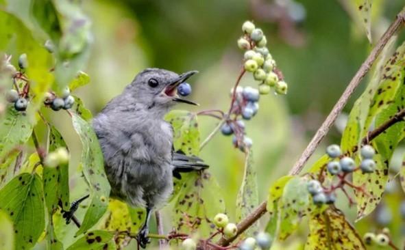Защитить голубику от пернатых можно импользуя специальные устройства отпугивающие птиц, наличие птиц-хищников, гнездящихся рядом
