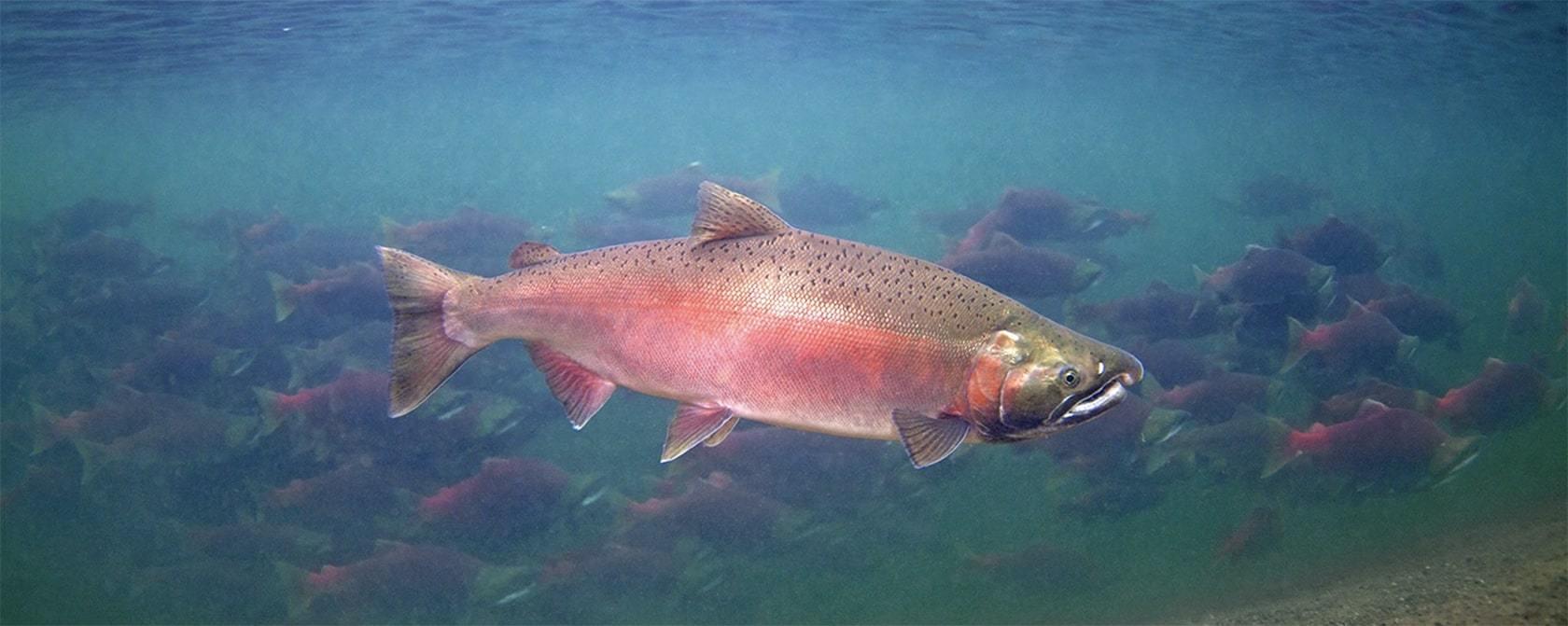 Фотография лосося и где водится