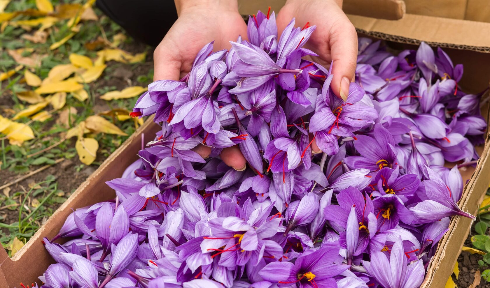 купить луковицы крокуса шафрана для выращивания шафрана напрямую у поставщика фермера из Нидерландов без посредников и перекупщиков
