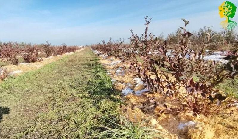 Мульча позволяет сохранить в земле запасы влаги, не дает ей пересыхать, помогает утеплить корневую систему культуры зимой