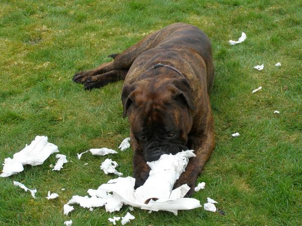 бурения собака ест траву и ее рвет сильные
