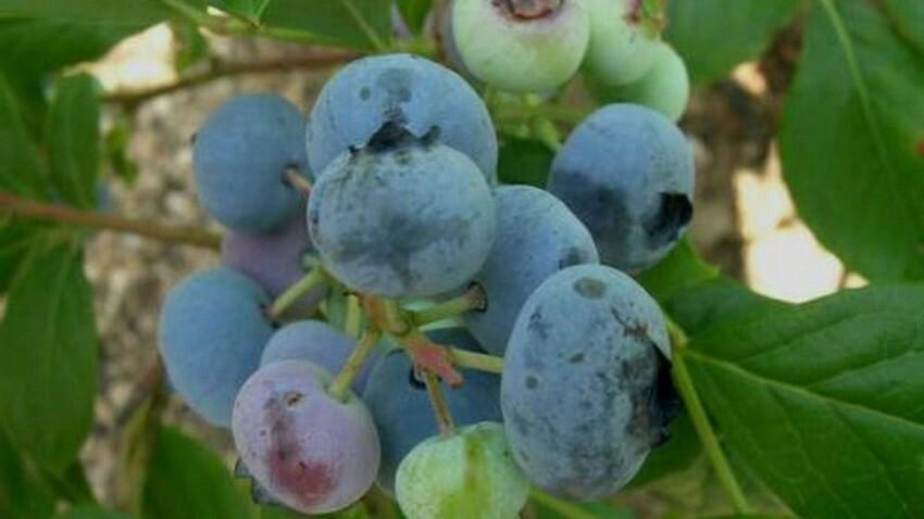 Особенности климата позволяют выращивать только ранние и среднеспелые сорта