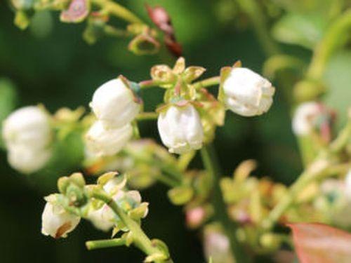 Белые цветки кустарника имеют очертания колокола