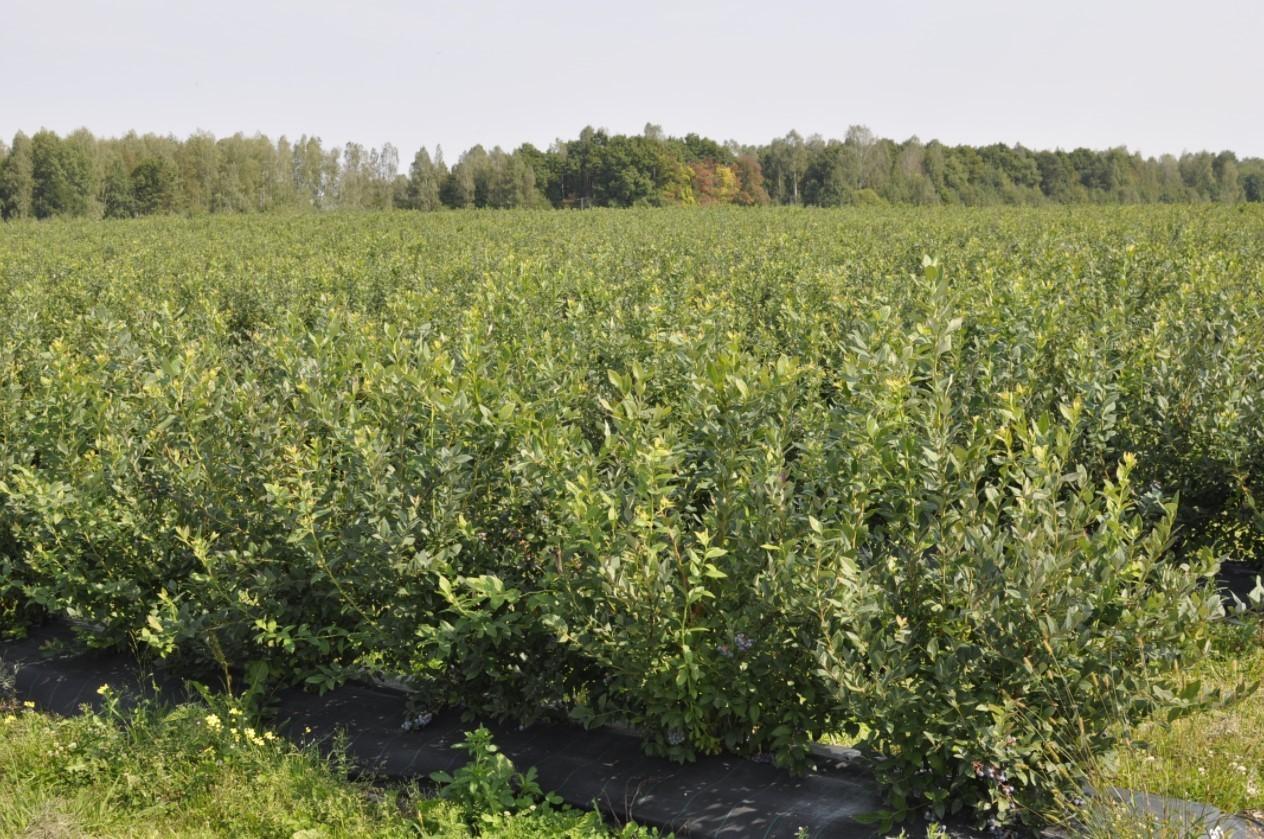 Для ягодной плантации следует выбрать хорошо освещенный участок, защищенный от ветра