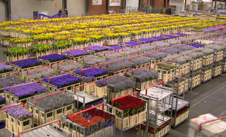Цветов, оптовые поставки цветов из голландии в россию