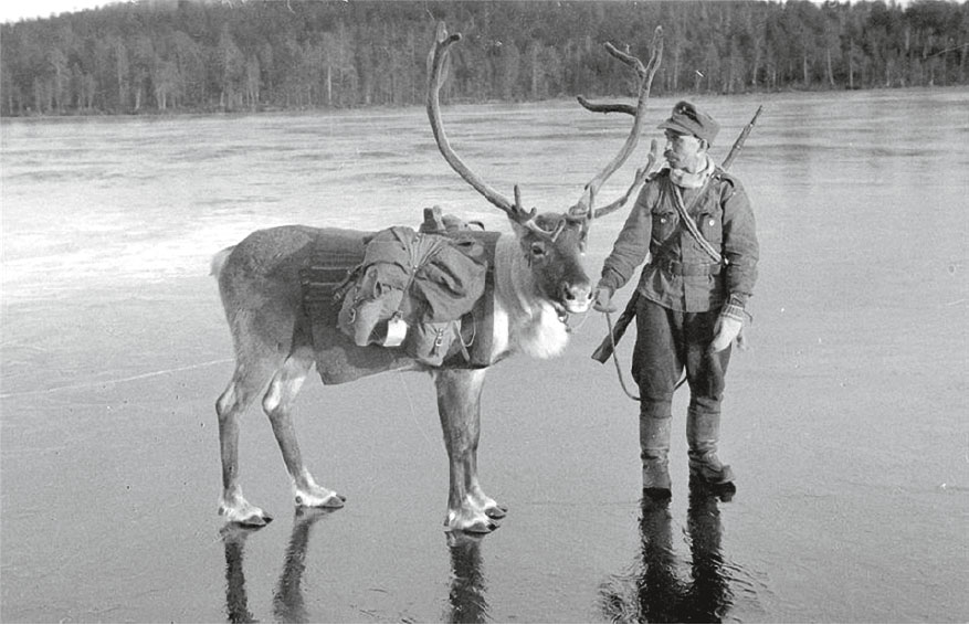 Во время войны финны использовали оленей в качестве тягловой силы