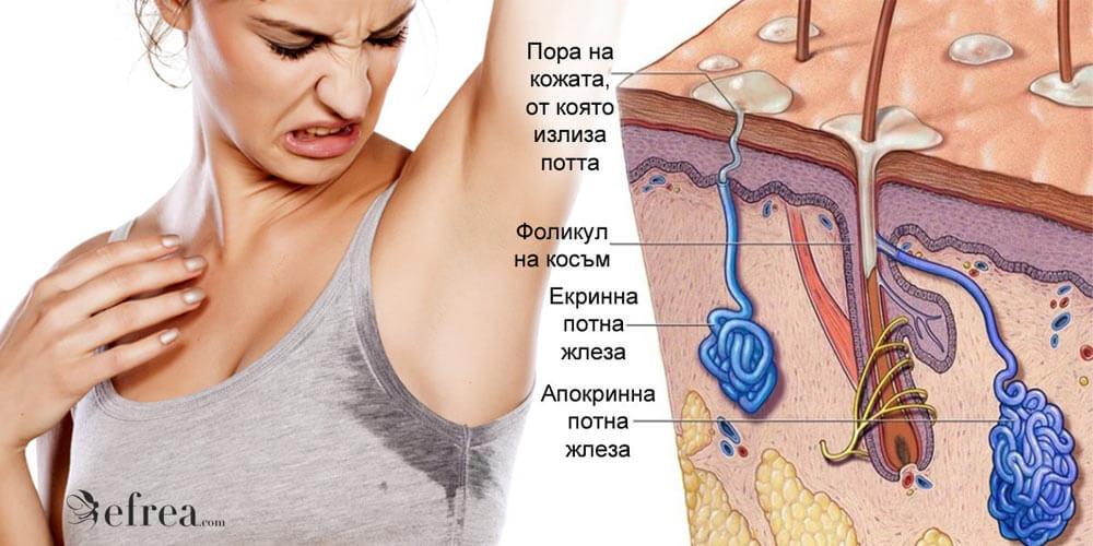 Потните жлези в човешкото тяло са 2 вида - екринни и апокринни. Те имат различни функции