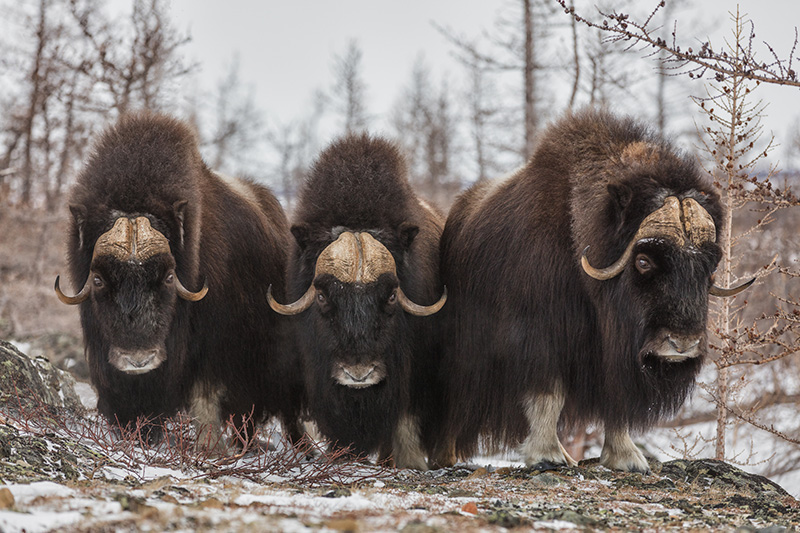 Yamal muskoxen of the Polar Urals