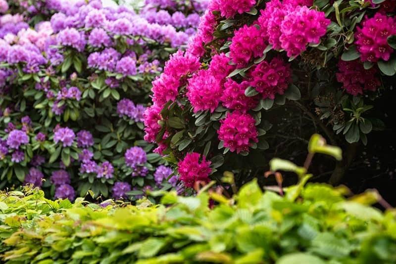 Идеальные соседи для голубики – рододендроны, гортензии и азалии, предпочитающие кислую почву. Они украсят ягодную плантацию и внесут яркие краски в окружающий пейзаж