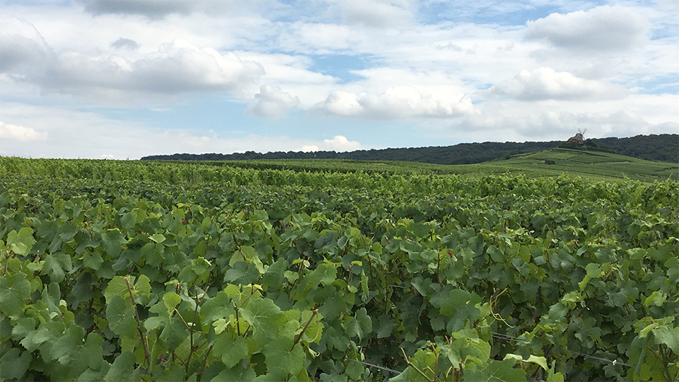 A shot from the Pinot Noir fields of Verzenay, one of the core components in Cristal