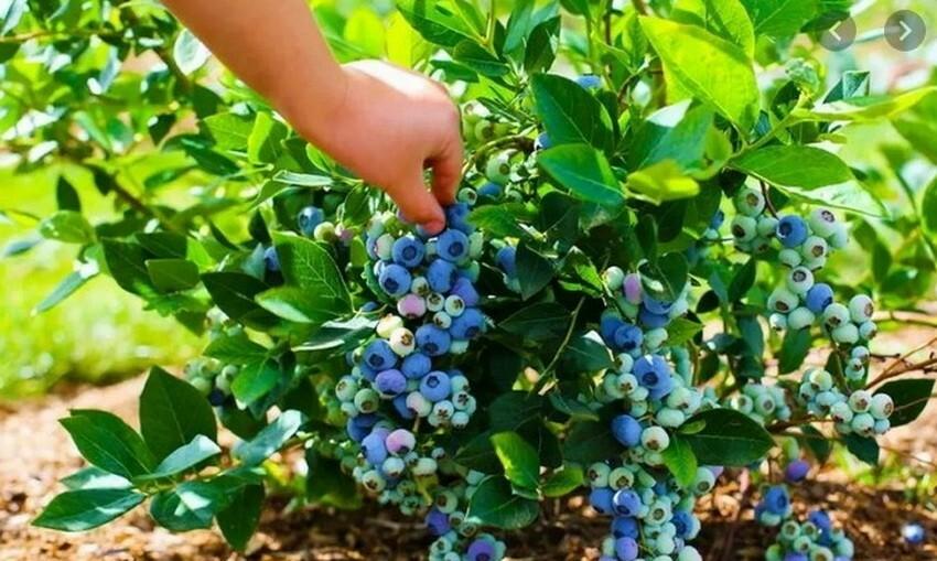 При правильной агротехнике сорт всегда отличается стабильными урожаями