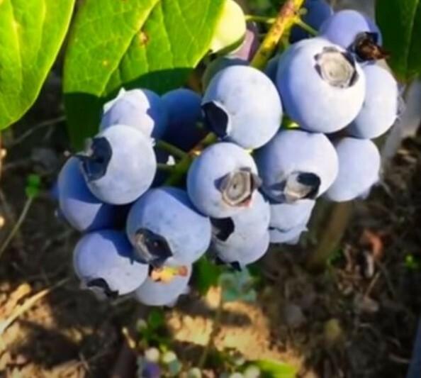 Плоды формируются на побегах прошлого года