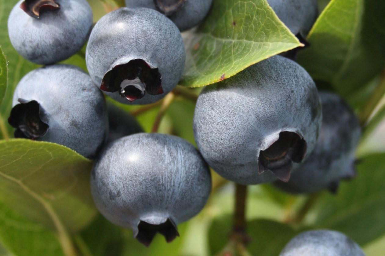Благодаря крупным и вкусным плодам с высокими товарными качествами сорт Дюк пользуется повышенным спросом на рынке.
