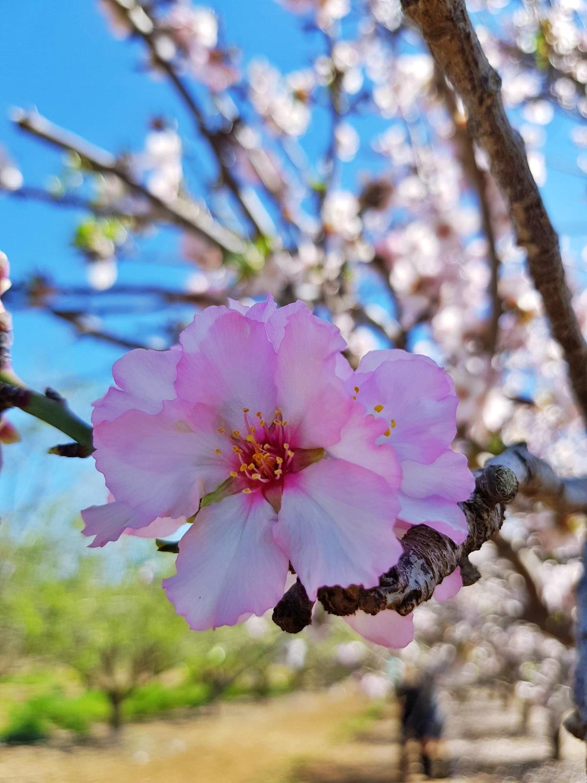 Миндальное дерево. Блог Вкусный Израиль.