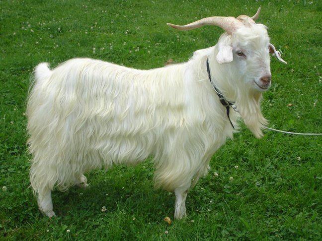 Кашмир е вид вълна, която се произвежда от специален вид кози, които живеят в областта Кашмир в подножието на Хималаите.