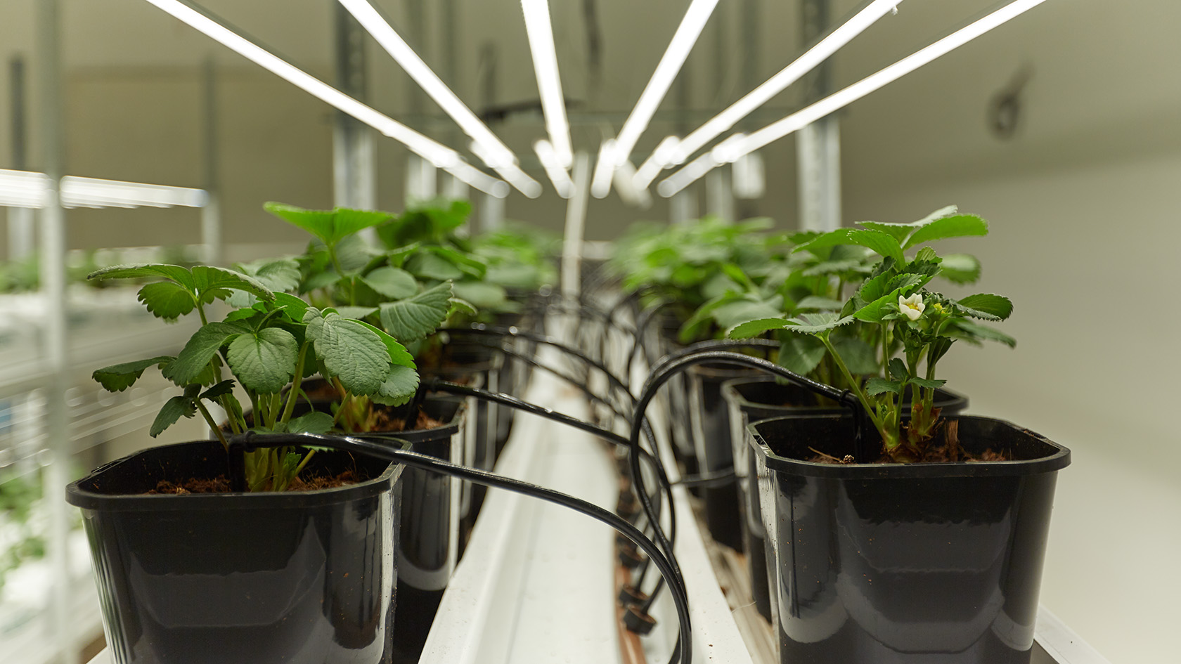 Как высаживать семена для гидропоники марихуана сорт 2046